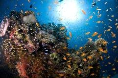 Filón y escuela coloreada de pescados Imagen de archivo libre de regalías