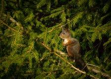 Filósofo do esquilo Foto de Stock Royalty Free