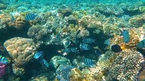Fil?n coralino tropical Pescados subacu?ticos en Ras Mohamed, Sharm el Sheikh, Egipto metrajes