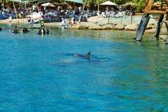 Fil?n del delf?n en el Mar Rojo fotos de archivo libres de regalías