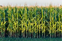 Fila alta del maíz de campo Imagen de archivo