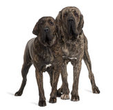 Fila braziliero or Brazilian Mastiffs, standing Royalty Free Stock Photos