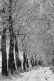 Fila de abedules en el invierno Fotografía de archivo
