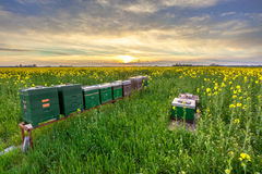 Fila de colmenas en un campo Fotografía de archivo libre de regalías