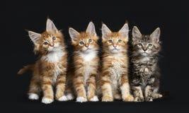 Fila de cuatro gatos de Maine Coon fotografía de archivo