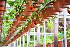 Fila de fresas en la granja hidropónica en las montañas de Cameron, Malasia Imágenes de archivo libres de regalías
