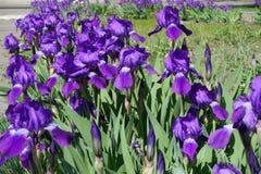 Fila de iris barbudos violetas brillantes florecientes Imagen de archivo