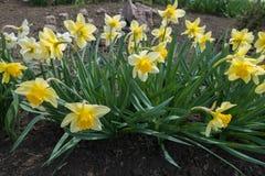 Fila de junquillos amarillos florecientes en macizo de flores Imagen de archivo