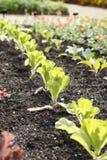 Fila de la col de col rizada verde que crece en jardín foto de archivo libre de regalías