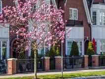 Fila de las casas urbanas alineadas con las magnolias florecientes Fotos de archivo libres de regalías