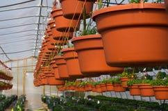 Fila de las cestas colgantes que crecen en invernadero Imagenes de archivo