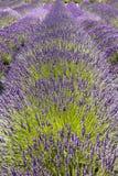 Fila de las flores de la lavanda Foto de archivo libre de regalías