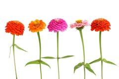 Fila de las flores del Zinnia Imagenes de archivo