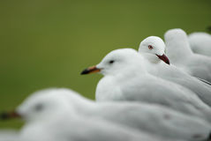 Fila de las gaviotas blancas Fotos de archivo libres de regalías