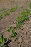 Fila de las plantas de guisante Foto de archivo