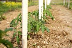 Fila de las plantas de tomate Fotografía de archivo libre de regalías