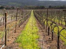 Fila de las vides inactivas del vino en campo Fotos de archivo