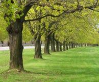 Fila de los árboles de arce en resorte Fotos de archivo libres de regalías