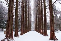 Fila de los árboles de pino Fotos de archivo libres de regalías