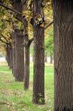 Fila de los árboles de roble Imagen de archivo