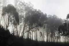 Fila de los árboles forestales en la niebla Imagen de archivo libre de regalías