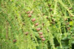 Fila de los conos del pino de un primer del árbol de alerce Imágenes de archivo libres de regalías