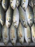 Fila de los pescados amarillos frescos del scad de la raya Fotografía de archivo libre de regalías