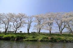 Fila de los ?rboles de la flor de cerezo a lo largo del riverbank del r?o de Naka foto de archivo