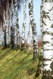 Fila de los troncos del abedul en una cuesta Imagen de archivo libre de regalías