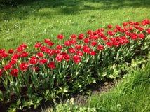 Fila de los tulipanes rojos rodeados por la hierba verde en la luz del sol fotos de archivo