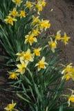Fila de narcisos amarillos en la plena floración Foto de archivo libre de regalías