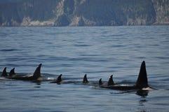 Fila de orcas Foto de archivo