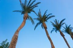 Fila de palmeras contra un cielo azul Imagen de archivo libre de regalías