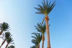 Fila de palmeras contra un cielo azul hermoso Imagen de archivo