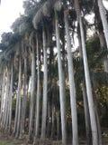 Fila de palmeras en un otoño foto de archivo libre de regalías