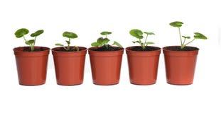 Fila de plantas de semillero en crisoles plásticos Fotografía de archivo libre de regalías