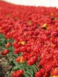 Fila de tulipanes Imagen de archivo libre de regalías