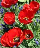 Fila de tulipanes con la flor del Muscari Imagen de archivo libre de regalías