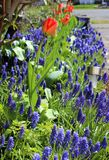 Fila de tulipanes con la flor del Muscari Imagen de archivo