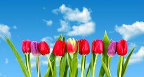 Fila de tulipanes contra el cielo azul Fotos de archivo