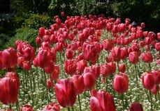 Fila de tulipanes rojos Fotografía de archivo