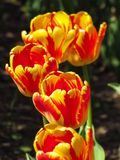 Fila de tulipanes rojos y amarillos en luz del sol fotografía de archivo libre de regalías