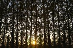 Fila degli alberi al tramonto Fotografie Stock