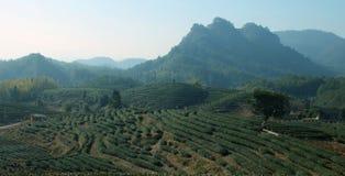 Fila degli alberi del tè in azienda agricola Fotografia Stock