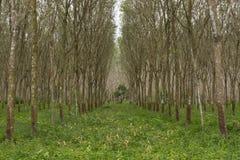 Fila degli alberi della gomma, luce del sole Fotografia Stock Libera da Diritti