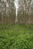 Fila degli alberi della gomma, luce del sole Fotografie Stock Libere da Diritti