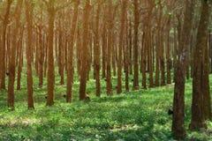 Fila degli alberi di gomma alla piantagione in Sud-est asiatico produrre Immagini Stock Libere da Diritti