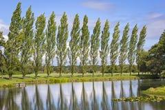 Fila degli alberi di pioppo Fotografie Stock