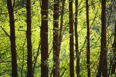 Fila degli alberi in foresta Immagine Stock Libera da Diritti