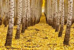 Fila degli alberi nella caduta ad un treefarm Immagini Stock Libere da Diritti
